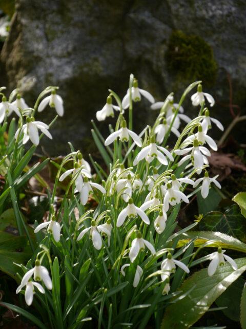 Galanthus nivalis, Schneeglöckchen
