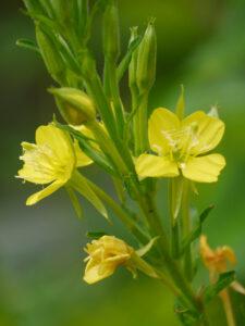Nachtkerzen-Blüten