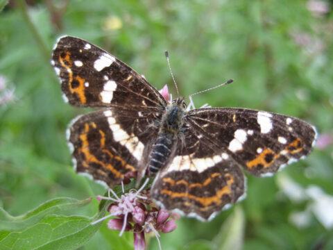 Landkärtchen Schmetterling