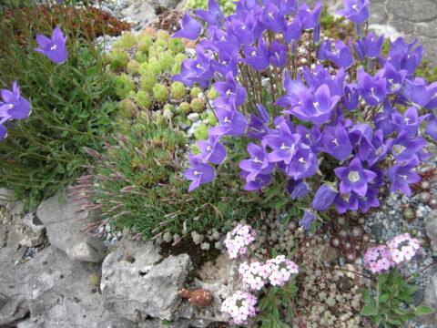 Polsterglockenblumen