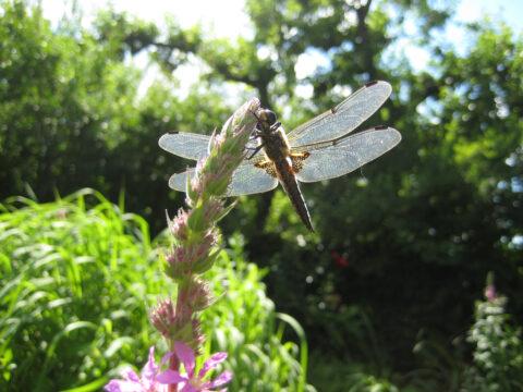 Vierfleck-Libelle in Wurzerls Garten