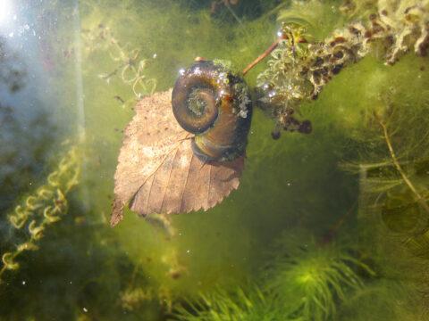 Die Posthorn-Schnecke in Wurzerls Gartenteich