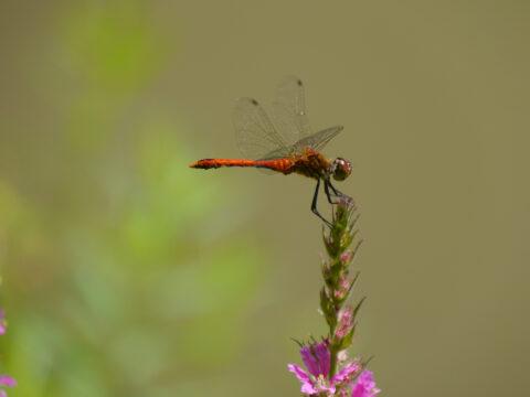 Heide-Libelle in Wurzerls Gartenteich