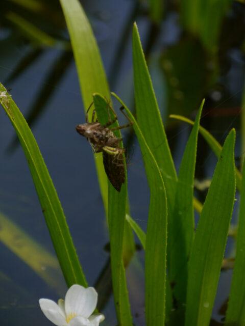 Die leere Hülle einer geschlüpften Libelle