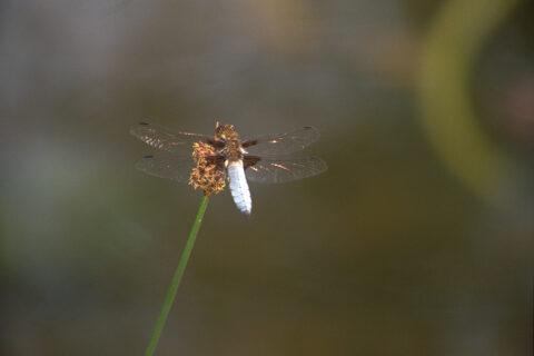 Plattbauch-Libelle in Wurzerls Gartenteich