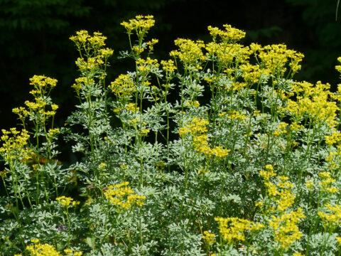 Ruta graveolens, Weinraute in Wurzerls Garten