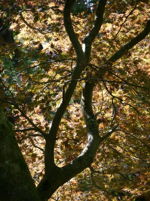 Blätterdach im Arboretum von Nymans
