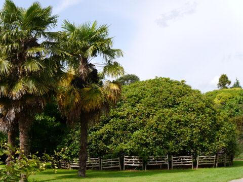Trachycarpus fortunei (Chinesische Hanfpalmen) und alter Rhododendron in Nymans Garden