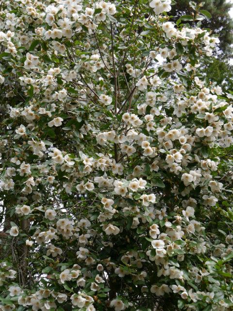 Eucryphia x nymansensis, Scheinulme, Nymans Garden