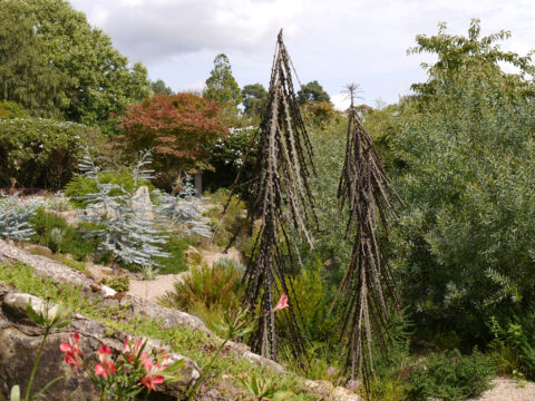 Australische Schlucht in Nymans Garden
