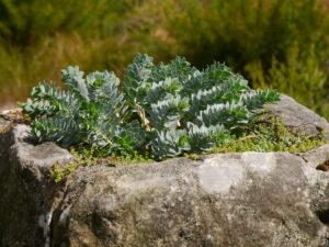 Walzen-Wolfsmilch, Euphorbia myrsinites, Mauerkrone in  Nymans Garden