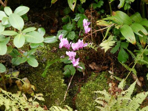 Cyclamen hederifolium (Zwerg-Herbst-Alpenveilchen)