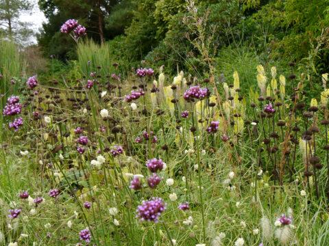 Verbena bonariensis, Scabiosa, Phlomis Samenstände in Scotney