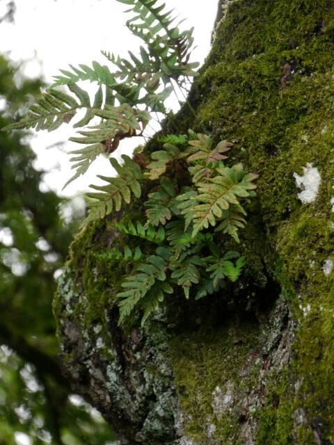 """Farn und Moos am Baum, """"Zeiger"""" für hohe Luftfeuchtigkeit im Landschaftspark Scotney."""