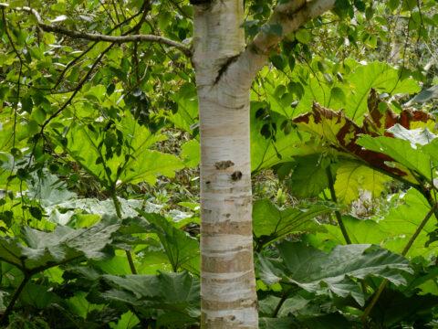 Betula utilis var. jacquemontii und Gunnera manicata im Landschaftspark Scotney