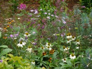 Echinacea purpurea 'Alba', Cleome hassleriana, Verbena bonariensis, Euphorbien u.a. im Bereich der alten Wasserburg Scotney's