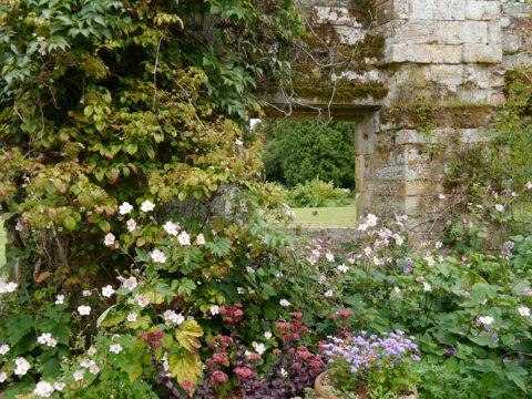 Blühende Herbstanemonen und Sedum in der Ruine Scotneys
