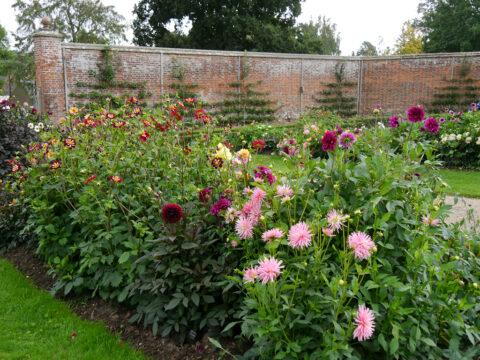 Dahlien-Blüte in Hochform im Küchengarten von Scotney