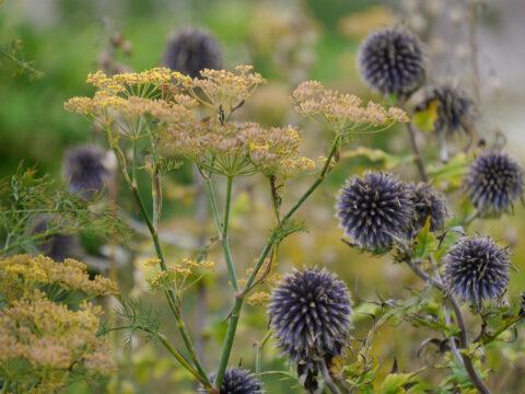 Echinops ritro und Foenicula Samenstände im Küchengarten von Scotney Castle