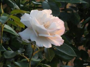 Rose 'Herkules' im Rosengarten