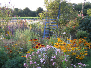 Rose 'The Fairy' und Rudbeckia im Rosengarten