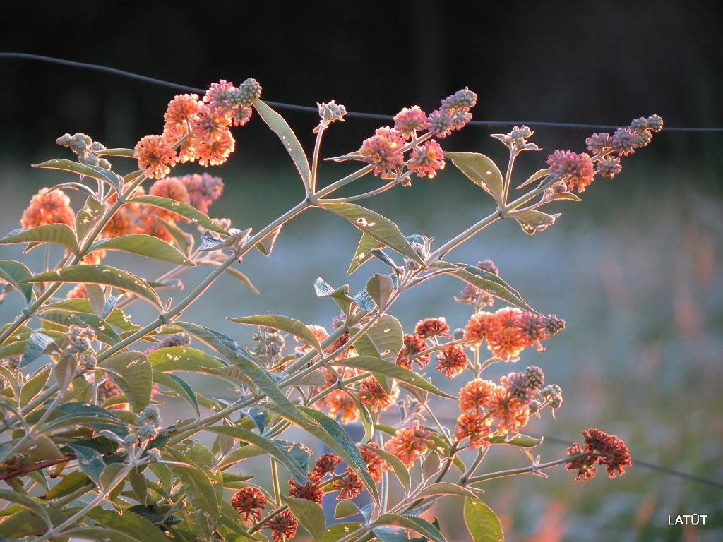 Buddleja weyeriana 'Sungold' im Poetischen Garten