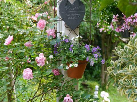 Rosa 'Bonica 82' und Bacoba monnieri in Wurzerls Garten