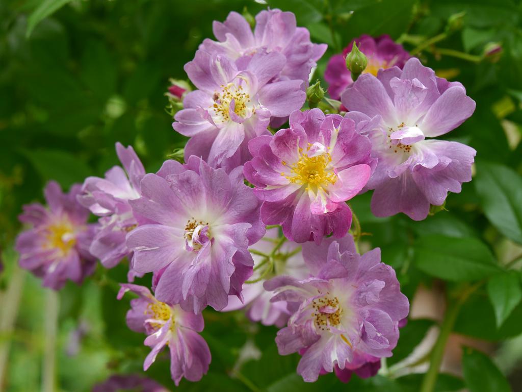 Rosa 'Veilchenblau' in Wurzerls Garten