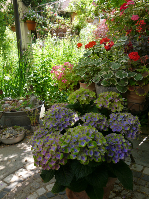 Hydrangea 'Amethyst Blue', historische Pelargonien Sorten auf der Terrasse von Wurzerls Garten.