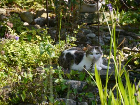 Die Nachbarkatze auf dem Bach-Übergang in Wurzerls Garten