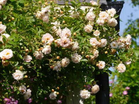 Rosa 'Ghislaine de Féligonde' in Wurzerls Garten