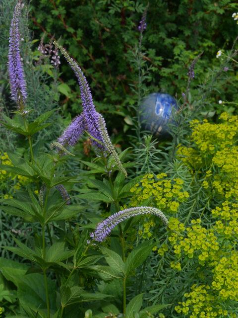 Kandelaber-Ehrenpreis (Veronicastrum) und Wolfsmilch (Euphorbia)
