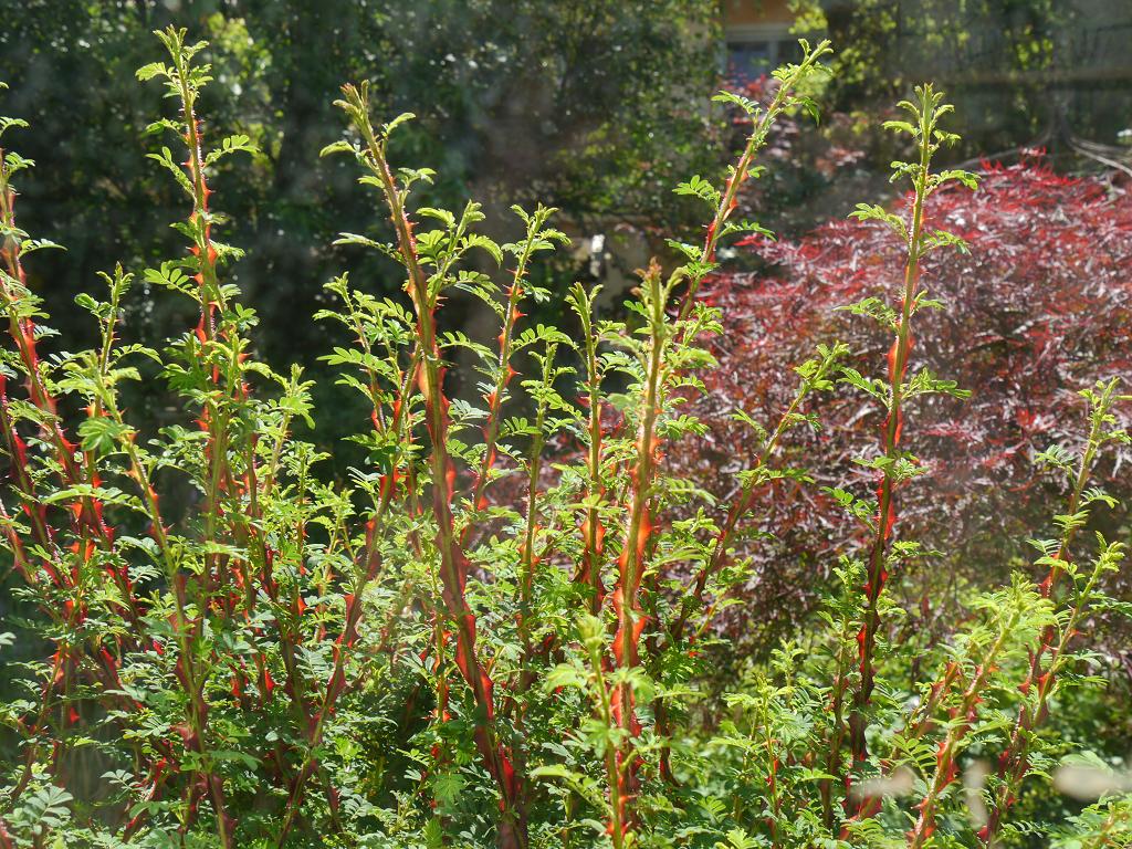 Rosa omeiensis pteracantha, die Stacheldraht-Rose in Wurzerls Garten