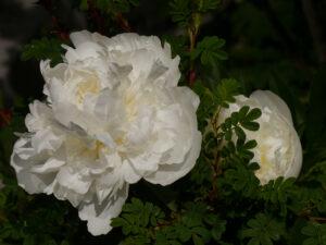 Weiße gefüllte Paeonie mit dem gefiederten Laub der Stacheldrahtrose in Wurzerls Garten