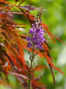 Linaria purpurea und japanischer Fächerahorn in Wurzerls Garten