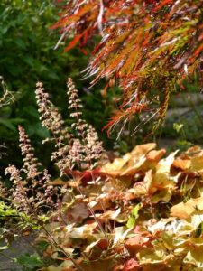 Heuchera 'Caramel', Purpurglöckchen und japanischer Fächerahorn in Wurzerls Garten