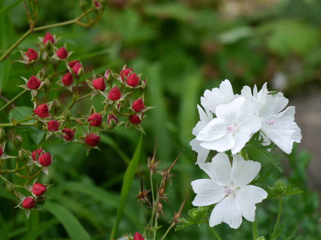 Knospen-Strauch-Rose 'Fairy Bouquet' in Wurzerls Garten