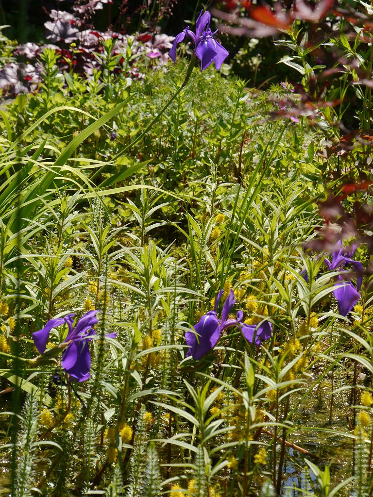 Iris kaempferi und Lysimachia thyrsiflora im Teich von Wurzerls Garten