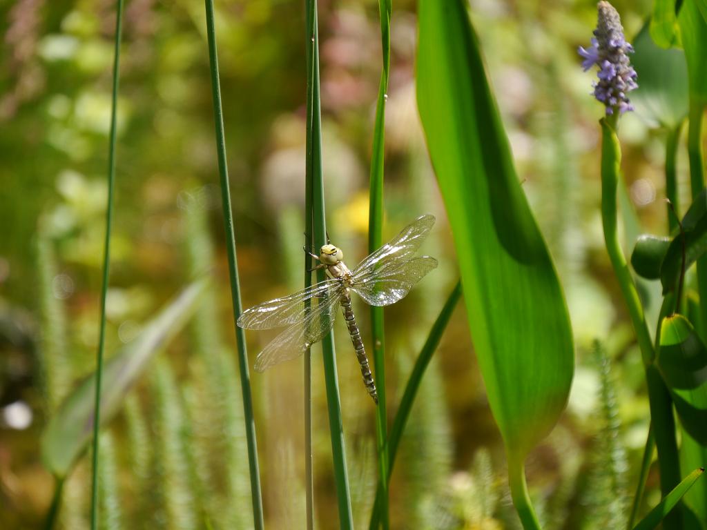 frisch geschlüpfte Großlibelle in Wurzerls Garten
