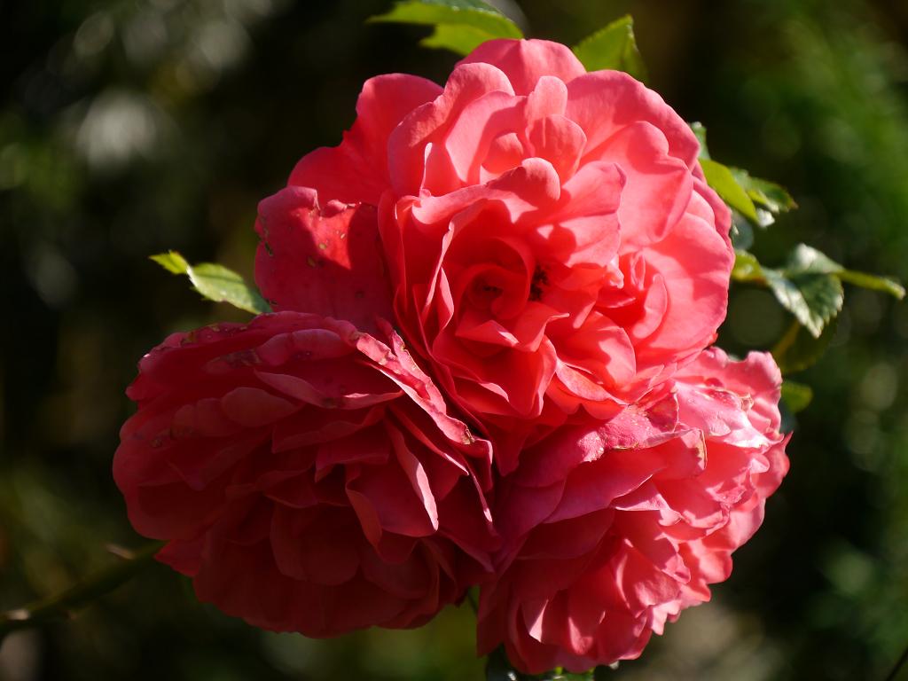 Rosa 'Rosarium Uetersen' in Wurzerls Garten