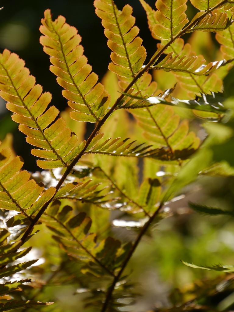 Rotschleierfarn, Dryopteris erythrosora var. prolifica in Wurzerls Garten