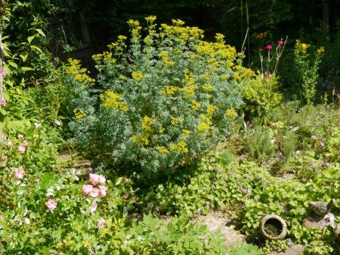 Ruta graveolens, Weinraute am Rand des Steingartens in Wurzerls Garten