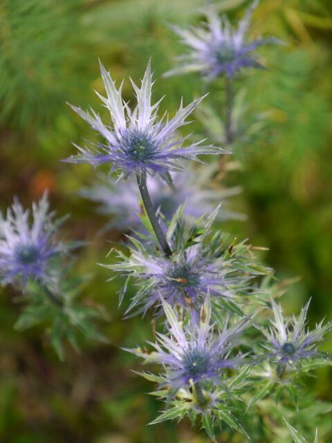 Mannstreu  (Eryngium alpinum), Steingarten in Wurzerls Garten