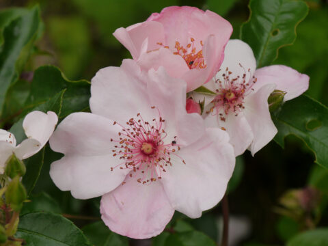 Rosa 'Sweet Pretty' in Wurzerls Garten