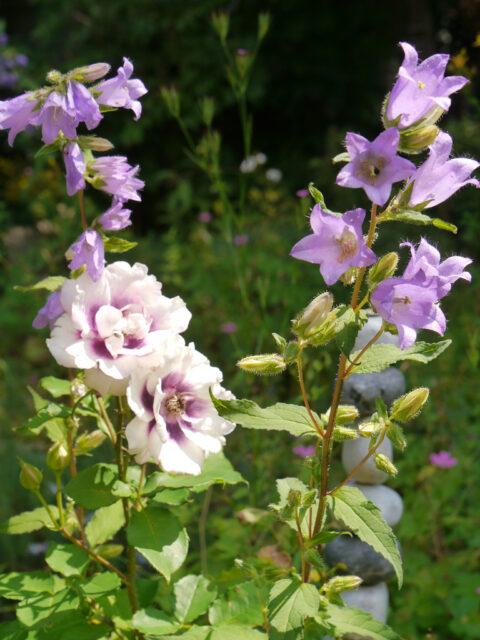 Rosa 'Eyes for You' und Campanula trachelium, nesselblättrige Glockenblume in Wurzerls Garten
