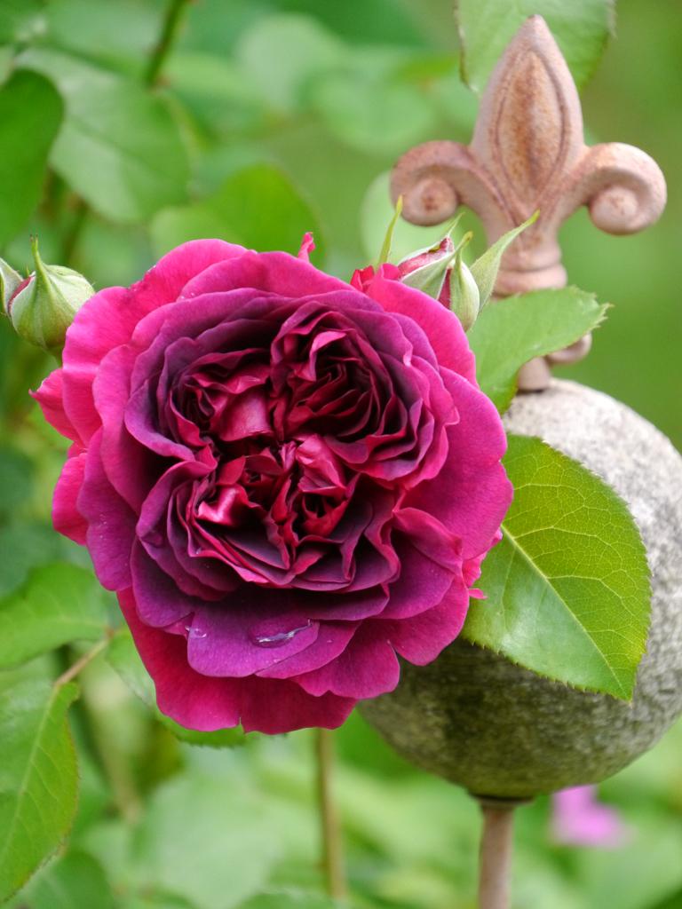 Rosa 'Munstead Wood' in Wurzerls Garten