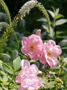 Rosa 'The Lady's Blush' und Schneefelberich, Lysimachia clethroides
