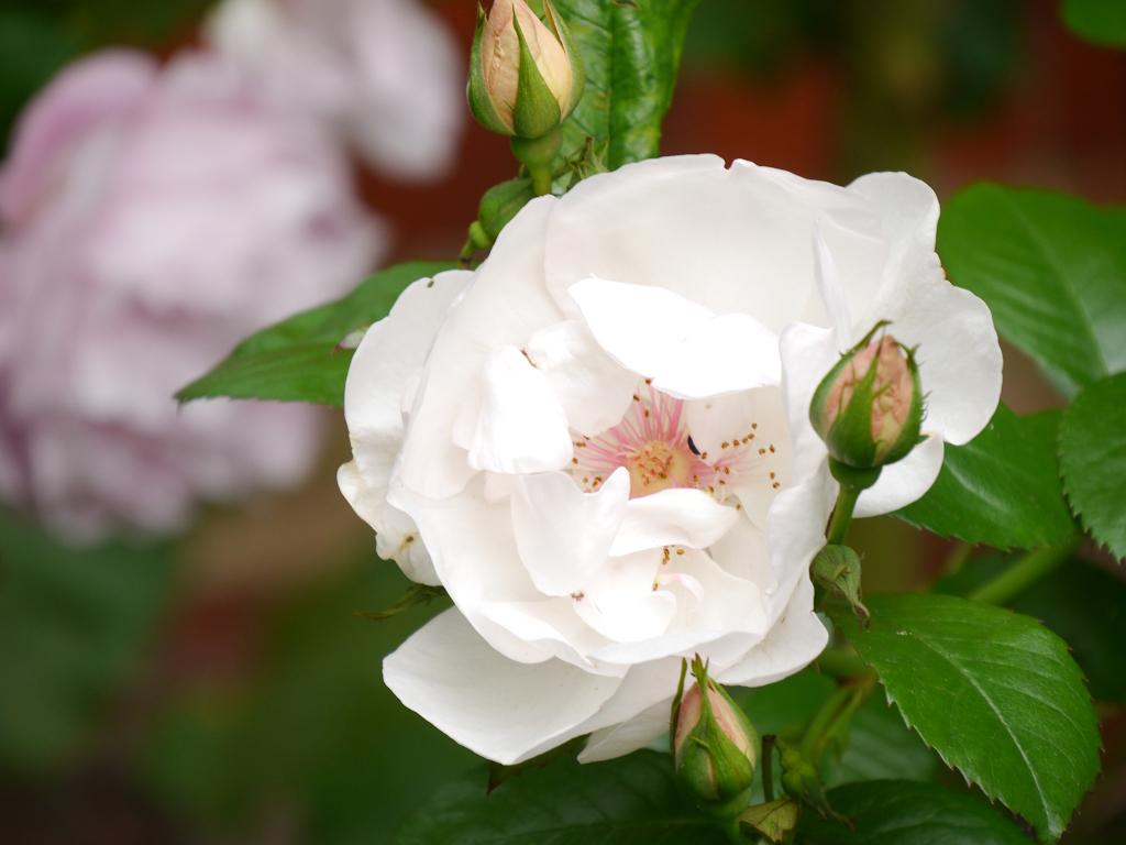 Rose 'Jacqueline du pré' in Wurzerls Garten
