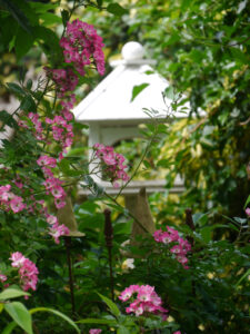 Rosa 'Mozart' in Wisteria-Ecke vor der Terrasse