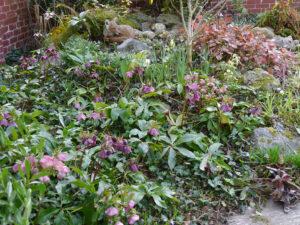 Helleborusblüte, hinter dem Fuchs ist die Bachquelle